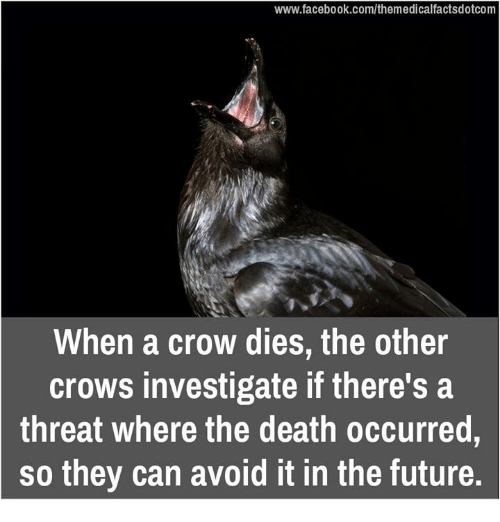 Memes, 🤖, and Deaths: www.facebook.com/themedicalfactsdotcom  When a crow dies, the other  crows investigate if there's a  threat where the death occurred  so they can avoid it in the future.