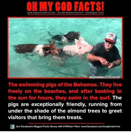 jubilee: www.omg facts online.com I fb.com/  online I a oh my god facts  Gmage source Jubilee Travel  The swimming pigs of the Bahamas. They live  freely on the beaches, and after basking in  the sun for hours, they swim in the surf The  pigs are exceptionally friendly, running from  under the shade of the almond trees to greet  visitors that bring them treats.  Join Facebook's Biggest Facts Library with 6 Million+ Fans- www.facebook.com/omgfactsonline