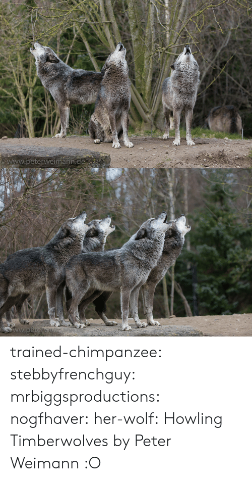 howling: www.peterweímann trained-chimpanzee: stebbyfrenchguy:  mrbiggsproductions:  nogfhaver:  her-wolf:  Howling Timberwolves by  Peter Weimann            :O