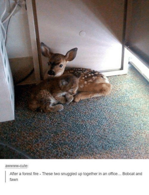 bobcats: wwww-cute  After a forest fire These two snuggled up together in an office  Bobcat and  fawn