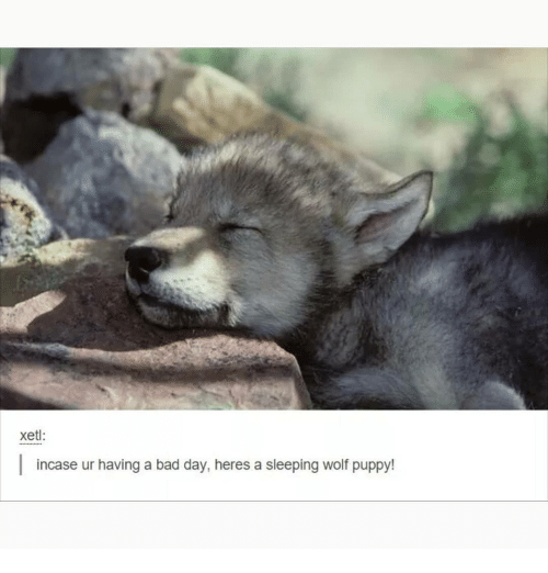 Bad, Bad Day, and Memes: xet:  incase ur having a bad day, heres a sleeping wolf puppy!