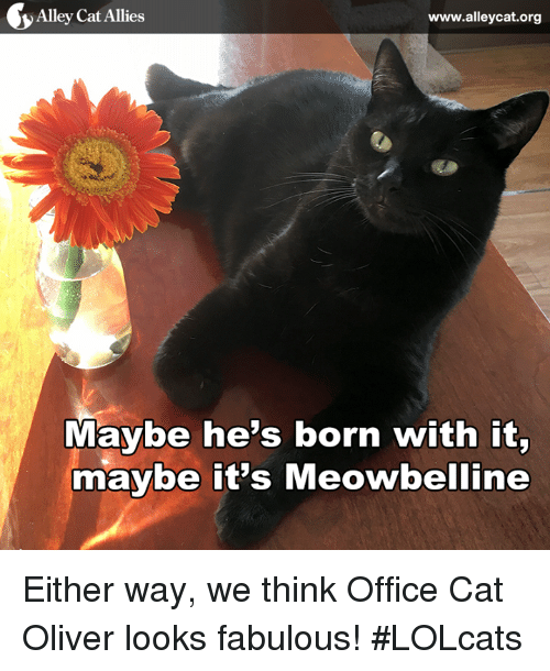 LOLcats: y Alley Cat Allies  www.alleycat.org  Maybe he's born with it,  maybe it's Meowbelline Either way, we think Office Cat Oliver looks fabulous! #LOLcats