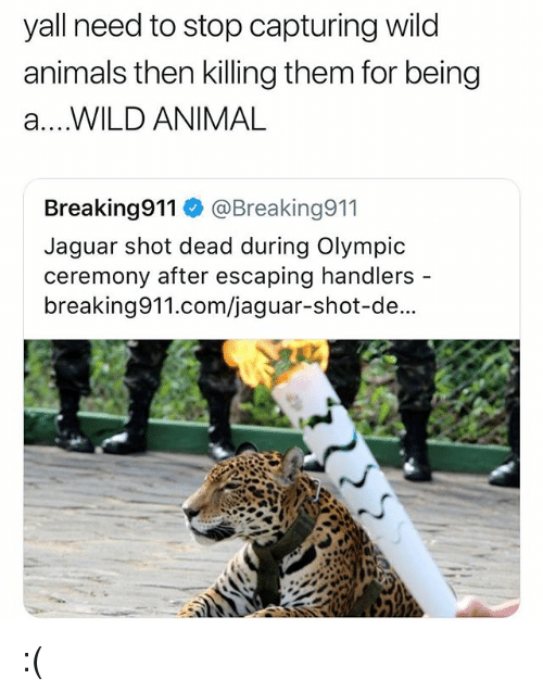 Animals, Animal, and Jaguar: yall need to stop capturing wild  animals then killing them for being  a....WILD ANIMAL  Breaking911 @Breaking911  Jaguar shot dead during Olympic  ceremony after escaping handlers  breaking911.com/jaguar-shot-de... :(