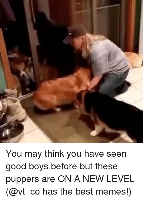 Funny, Memes, and Best: You may think you have seen good boys before but these puppers are ON A NEW LEVEL (@vt_co has the best memes!)
