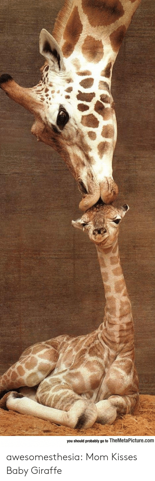 baby giraffe: you should probably go to TheMetaPicture.com awesomesthesia:  Mom Kisses Baby Giraffe