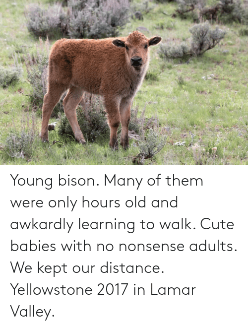 bison: Young bison. Many of them were only hours old and awkardly learning to walk. Cute babies with no nonsense adults. We kept our distance. Yellowstone 2017 in Lamar Valley.