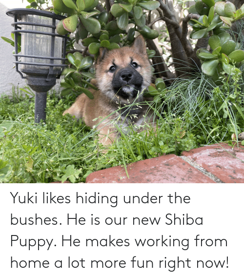 bushes: Yuki likes hiding under the bushes. He is our new Shiba Puppy. He makes working from home a lot more fun right now!