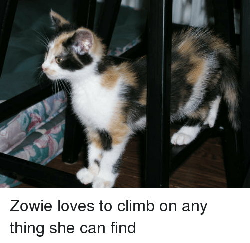 Cats, Fat, and Once: Zowie loves to climb on any thing she can find