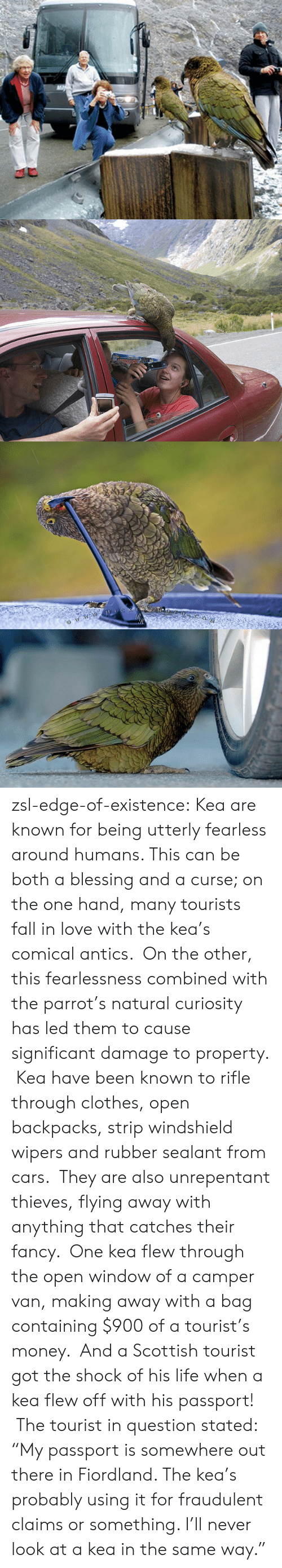 "Camper: zsl-edge-of-existence:  Kea are known for being utterly fearless around humans. This can be both a blessing and a curse; on the one hand, many tourists fall in love with the kea's comical antics.  On the other, this fearlessness combined with the parrot's natural curiosity has led them to cause significant damage to property.  Kea have been known to rifle through clothes, open backpacks, strip windshield wipers and rubber sealant from cars.  They are also unrepentant thieves, flying away with anything that catches their fancy.  One kea flew through the open window of a camper van, making away with a bag containing $900 of a tourist's money.  And a Scottish tourist got the shock of his life when a kea flew off with his passport!  The tourist in question stated: ""My passport is somewhere out there in Fiordland. The kea's probably using it for fraudulent claims or something. I'll never look at a kea in the same way."""